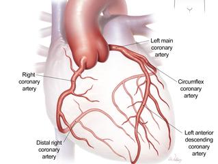 Coronary artery anatomy